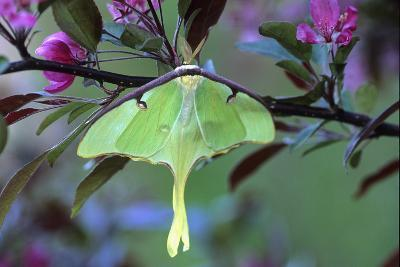 USA, Pennsylvania. Luna Moth on Cherry Tree in Spring-Jaynes Gallery-Photographic Print
