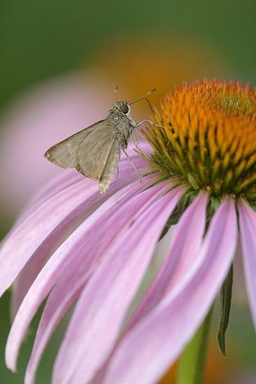 USA, Pennsylvania. Skipper Butterfly on Cone Flower-Jaynes Gallery-Photographic Print