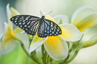 https://imgc.artprintimages.com/img/print/usa-pennsylvania-swallowtail-butterfly-on-flower_u-l-pu37wv0.jpg?p=0
