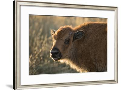 Usa, South Dakota, Black Hills, Custer, State Park, Wildlife, American Bison Calf-Christian Heeb-Framed Photographic Print