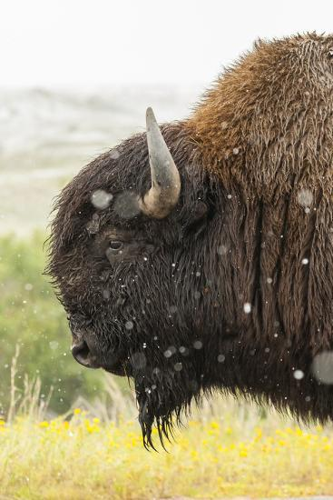 USA, South Dakota, Custer State Park. Profile of Bison-Cathy & Gordon Illg-Photographic Print