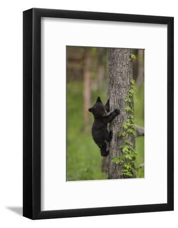 USA, Tennessee. Black Bear Cub Climbing Tree-Jaynes Gallery-Framed Photographic Print