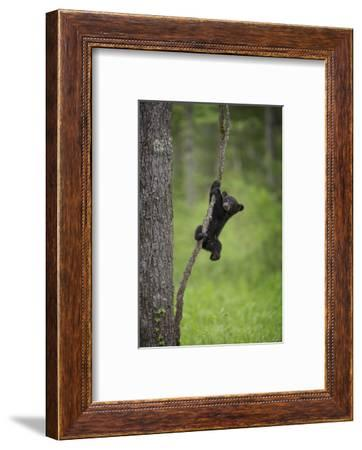 USA, Tennessee. Black Bear Cub Playing on Tree Limb-Jaynes Gallery-Framed Photographic Print