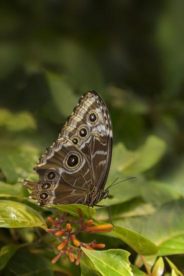 USA, Tennessee, Chattanooga. Giant Owl Butterfly on Leaf-Jaynes Gallery-Photographic Print