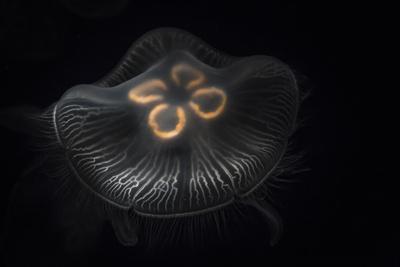 https://imgc.artprintimages.com/img/print/usa-tennessee-chattanooga-moon-jellyfish-in-aquarium_u-l-q12t3ae0.jpg?p=0