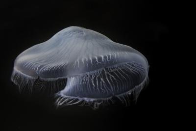 USA, Tennessee, Chattanooga. Moon Jellyfish in Aquarium-Jaynes Gallery-Photographic Print