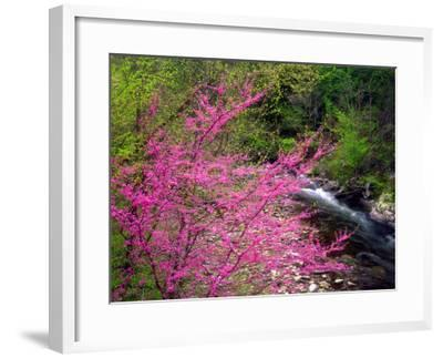 USA, Tennessee, Great Smoky Mountain Redbud Wildflowers-Jaynes Gallery-Framed Photographic Print