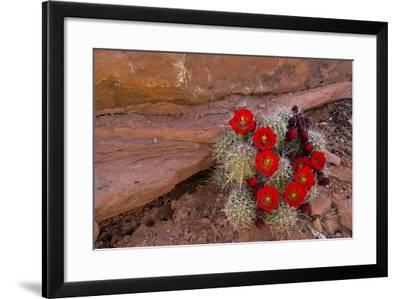 USA, Utah, Cedar Mesa. Red Flowers of Claret Cup Cactus in Bloom on Slickrock-Charles Crust-Framed Photographic Print