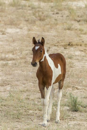 USA, Utah, Tooele County. Wild horse foal close-up.-Jaynes Gallery-Photographic Print