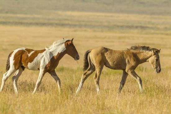 USA, Utah, Tooele County. Wild horse foals walking.-Jaynes Gallery-Photographic Print