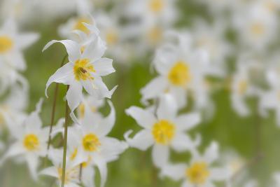 USA, Washington, Mount Rainier NP. Close-Up of Avalanche Lilies-Jaynes Gallery-Photographic Print