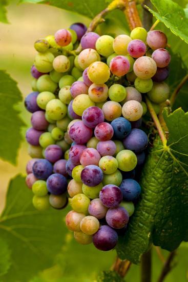 USA, Washington, Okanogan Valley. Pinot Grapes in Veraison in Vineyard-Richard Duval-Photographic Print
