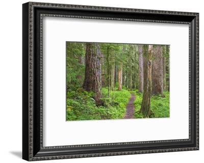USA, Washington, Olympic National Park. Scenic of Old Growth Forest-Jaynes Gallery-Framed Photographic Print