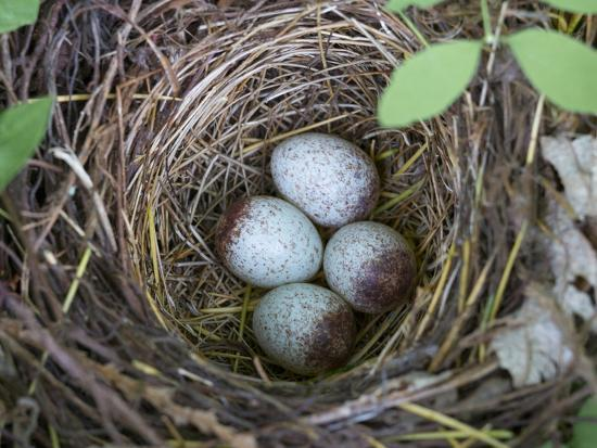 USA, Washington. Spotted Towhee Nest with Eggs-Gary Luhm-Photographic Print