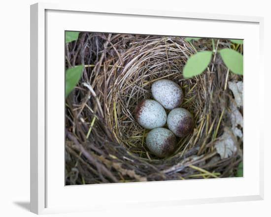 USA, Washington. Spotted Towhee Nest with Eggs-Gary Luhm-Framed Photographic Print