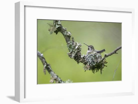 USA. Washington State. Anna's Hummingbird broods her young chicks in a cup nest.-Gary Luhm-Framed Photographic Print