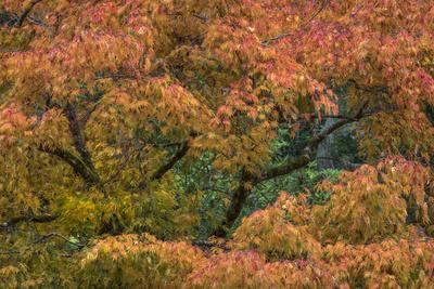 https://imgc.artprintimages.com/img/print/usa-washington-state-bainbridge-island-japanese-maple-tree-in-autumn_u-l-q1gbgdu0.jpg?p=0