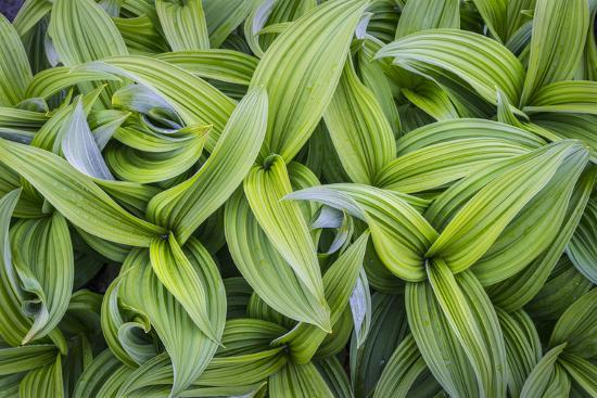 USA. Washington State. False Hellebore leaves in abstract patterns.-Gary Luhm-Premium Photographic Print
