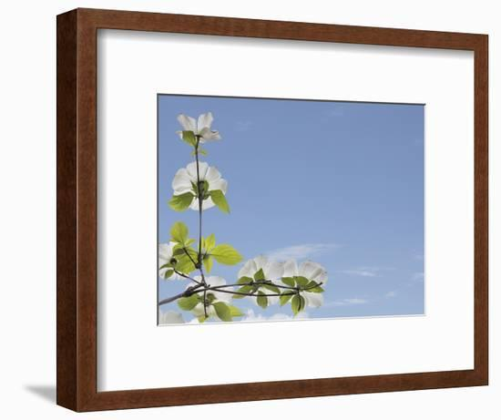 USA, Washington State, Gifford Pinchot National Forest. Pacific dogwood limbs and flowers.-Jaynes Gallery-Framed Photographic Print