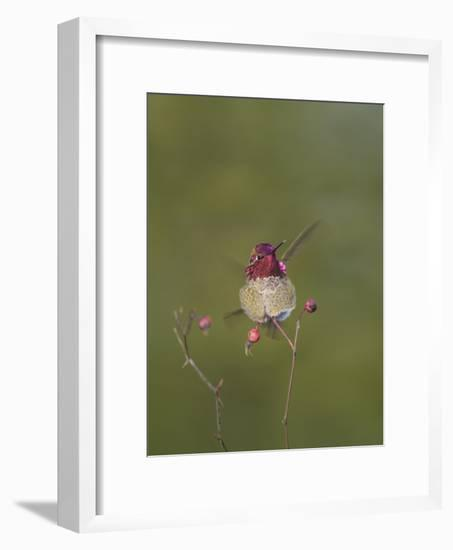 USA. Washington State. male Anna's Hummingbird flashes his iridescent gorget.-Gary Luhm-Framed Photographic Print