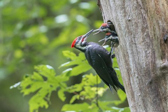 USA. Washington State. Male Pileated Woodpecker feeds begging chicks-Gary Luhm-Premium Photographic Print