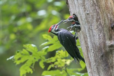 https://imgc.artprintimages.com/img/print/usa-washington-state-male-pileated-woodpecker-feeds-begging-chicks_u-l-q1d2nyq0.jpg?p=0