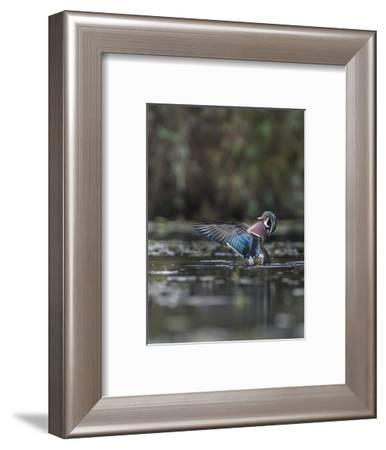USA, Washington State. Male Wood Duck (Aix sponsa) flaps its wings on Union Bay in Seattle.-Gary Luhm-Framed Photographic Print