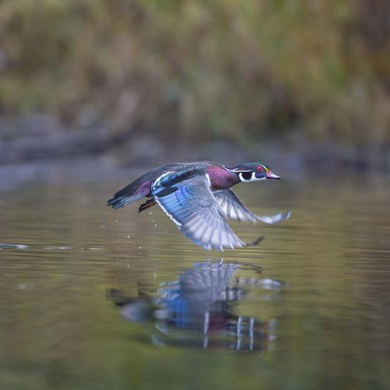 USA, Washington State. male Wood Duck, Aix Sponsa, flies over a marsh.-Gary Luhm-Photographic Print