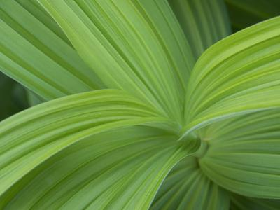 https://imgc.artprintimages.com/img/print/usa-washington-state-mount-rainier-national-park-green-skunk-cabbage-plant-close-up_u-l-q1gxkli0.jpg?p=0