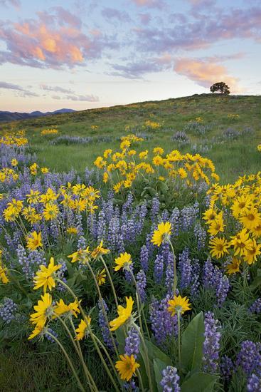 USA, Washington State, Okanogan National Forest, Arrowleaf Balsamroot and Lupine-Charles Gurche-Photographic Print