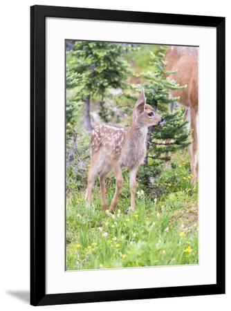 USA, Washington State, Olympic National Park Black-tailed deer fawn wildflower meadow. Concerned ex-Trish Drury-Framed Photographic Print