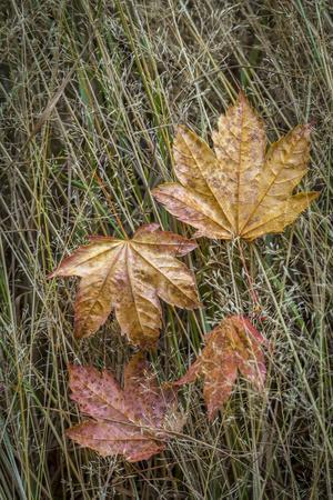 https://imgc.artprintimages.com/img/print/usa-washington-state-olympic-national-park-vine-maple-leaves-in-meadow-grasses_u-l-q1gbogc0.jpg?p=0