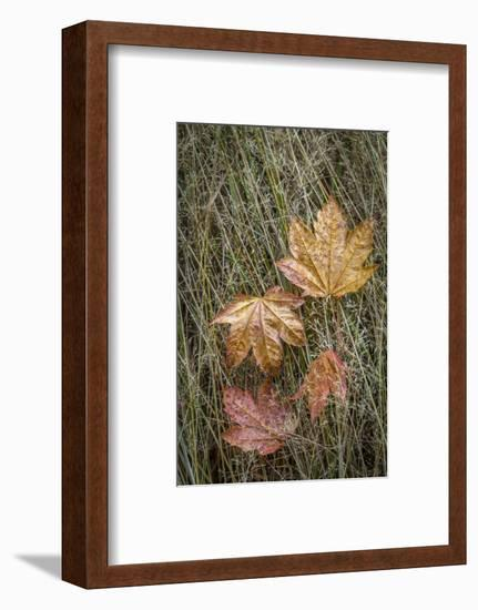 USA, Washington State, Olympic National Park. Vine maple leaves in meadow grasses.-Jaynes Gallery-Framed Photographic Print