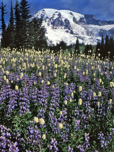 USA, Washington State, Paradise Park. Field of Lupine and Bistort-Steve Terrill-Photographic Print