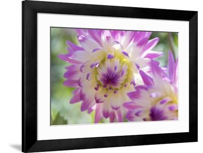 USA, Washington State, Port Gamble. Selective focus on vibrant dahlia flower-Trish Drury-Framed Photographic Print