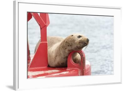USA, Washington State, Puget Sound. California Sea Lion hauled out on channel marker-Trish Drury-Framed Photographic Print