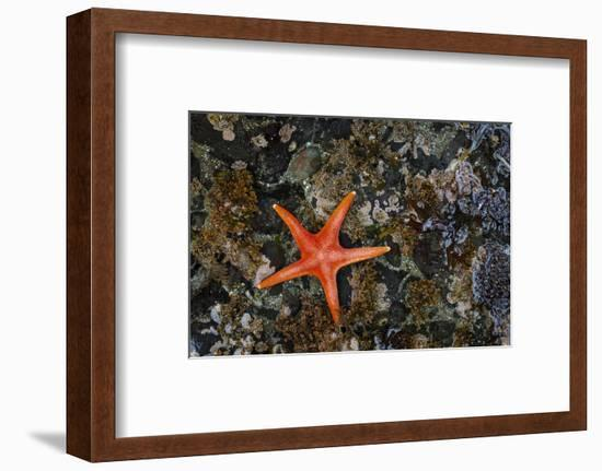 USA, Washington State, Salt Creek Recreation Area. Blood star on beach.-Jaynes Gallery-Framed Photographic Print