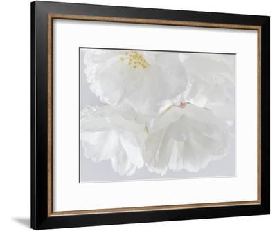 USA, Washington State, Seabeck. Cherry blossoms close-up.-Jaynes Gallery-Framed Photographic Print