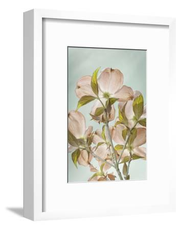 USA, Washington State, Seabeck. Colorized pink dogwood blossoms.-Jaynes Gallery-Framed Photographic Print