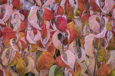 https://imgc.artprintimages.com/img/print/usa-washington-state-seabeck-dogwood-tree-leaves-in-fall_u-l-q1gbefs0.jpg?p=0