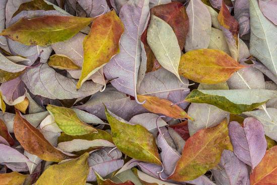 USA, Washington State, Seabeck. Fallen dogwood Leaves close-up.-Jaynes Gallery-Photographic Print