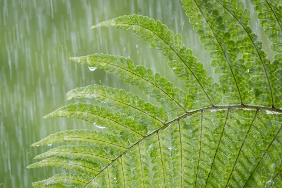 USA, Washington State, Seabeck. Fern in Rainfall-Don Paulson-Photographic Print
