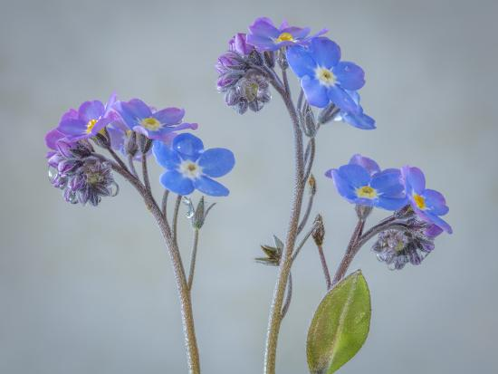 USA, Washington State, Seabeck of forget-me-not flowers.-Jaynes Gallery-Photographic Print
