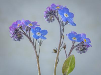https://imgc.artprintimages.com/img/print/usa-washington-state-seabeck-of-forget-me-not-flowers_u-l-q1d30t80.jpg?p=0