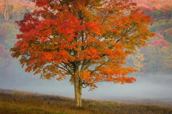 USA, West Virginia, Canaan Valley State Park. Lone tree and forest in fog.-Jaynes Gallery-Premium Photographic Print