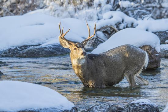 USA, Wyoming, A mule deer buck crosses Pine Creek-Elizabeth Boehm-Premium Photographic Print