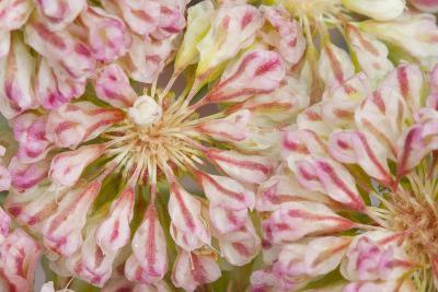 USA, Wyoming, Buckwheat Wildflower Close Up Detail-Elizabeth Boehm-Photographic Print