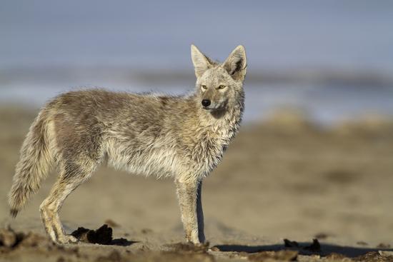 USA, Wyoming, Coyote Standing on Beach-Elizabeth Boehm-Photographic Print