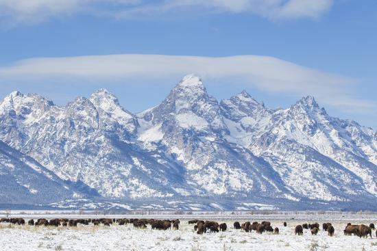 USA, Wyoming, Grand Teton National Park, Bison herd grazing in winter-Elizabeth Boehm-Premium Photographic Print