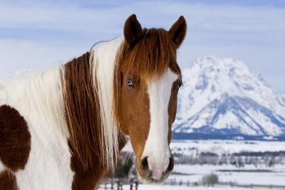 USA, Wyoming, Grand Teton National Park. Pinto Horse and Mount Moran in Winter-Jaynes Gallery-Photographic Print